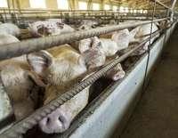 Contra la instalación de las granjas porcinas intensivas