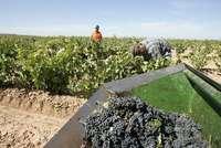 Un grupo de trabajadores recoge uva en una viña riojana.
