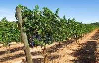Plantaciones en Ribera del Duero.