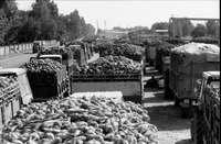 Imagen de archivo de una cosecha de remolacha en 1988.