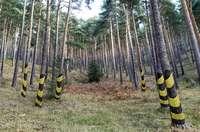Recreación de cómo quedaría una amplia zona; la idea es pintar en los pinos la caña del calcetín en sus diferentes formas y colores, como se ve en las fotos inferiores.