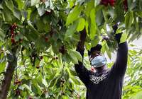 Un trabajador recoge cereza en una finca junto al Camino Viejo de Alberite.