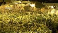 Mas de 2.000 plantas de marihuana en Burguillos
