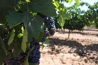 32 viticultores recibirán el pago por la reestructuración