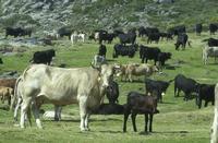 Palencia, libre de brucelosis bovina