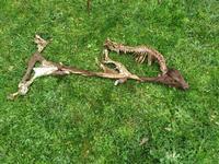 Asaja denuncia los últimos ataques sufridos por la ganadería en Merindades y urgen la retirada de la decisión de incluir al lobo como especie protegida.