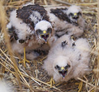 Proyecto de SEO Birdlife para salvar el aguilucho cenizo en Segovia