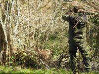 Una osezna ha sido reintroducida en Asturias