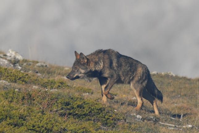 Espectacular imágen de un lobo ibérico de la Montaña Palentina. HERMANOS RUIZ DÍEZ