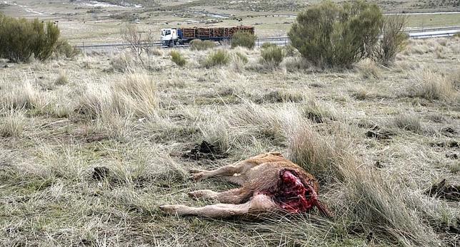 Ataque de lobos en el término de Tornadizos.