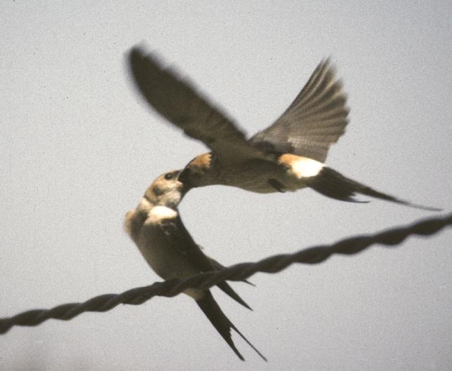 Golondrina alimentando a un pollo, en pleno vuelo. VICENTE GARCÍA
