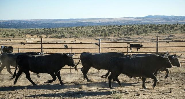 Los toros que se lidiarán en la cubierta de Illescas, están en tipo y hechura de embestir.