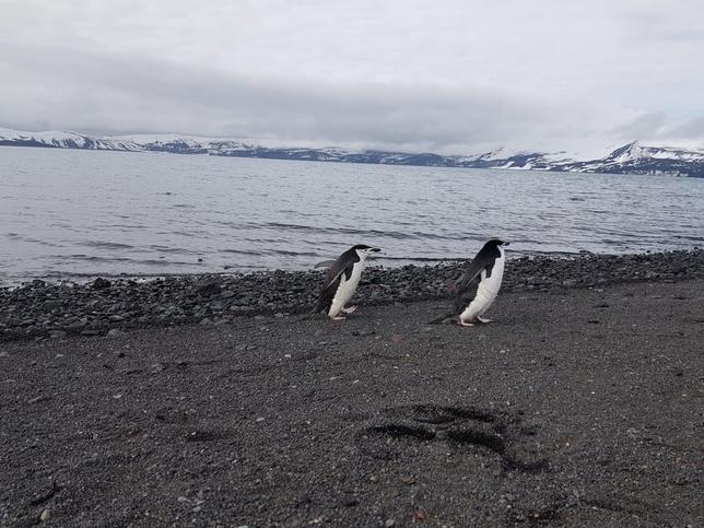 Ciudadrealeños llaman a apadrinar pingüinos en la Antártida