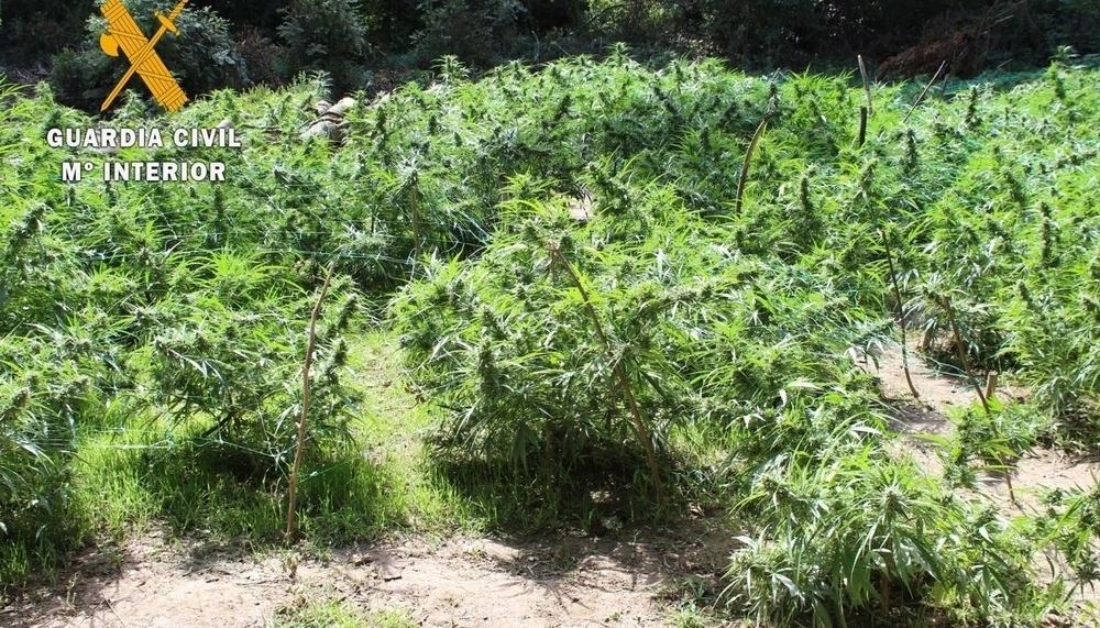 Localizadas más de 300 plantas de marihuana cerca de Lizoáin