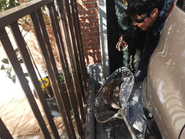 Capturan un corzo herido que deambulaba por Santa Ana