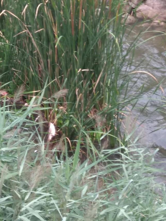 Investigan la muerte de numerosos peces en el río Esgueva