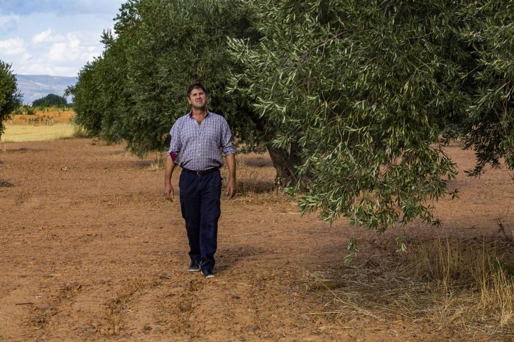 La sequía y la mosca mermarán en un 50% la cosecha de olivar