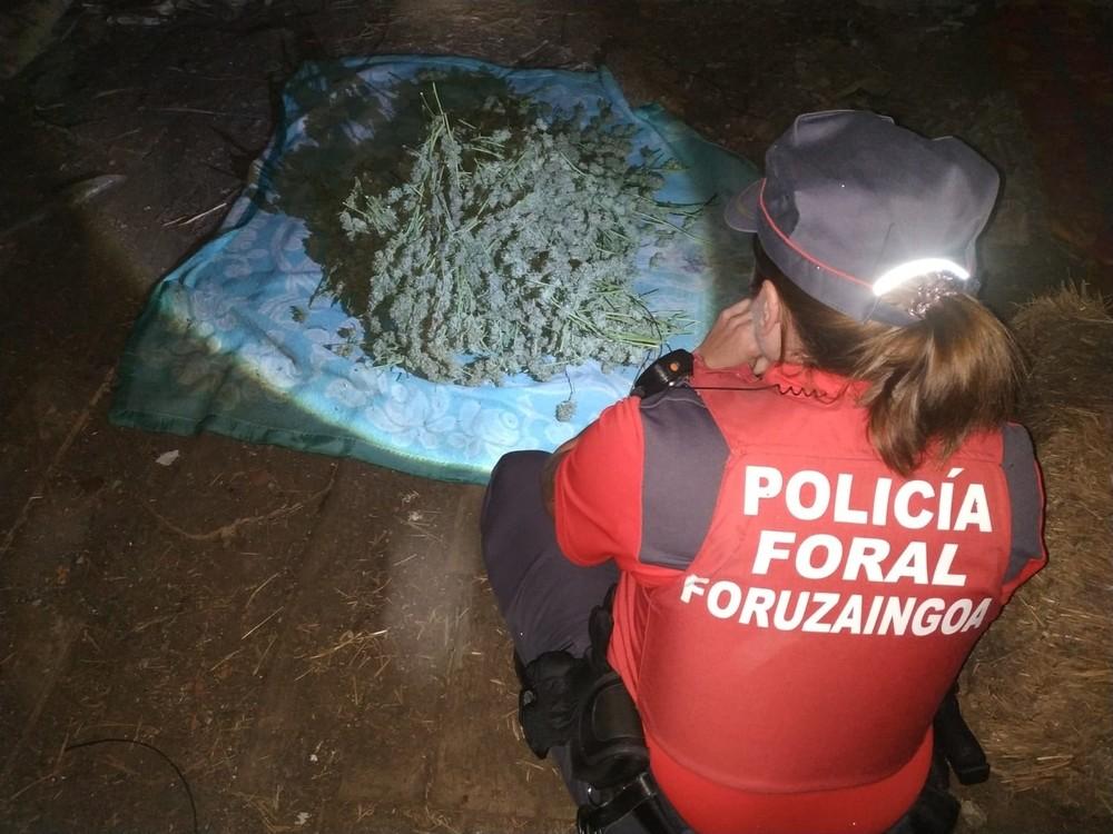 Incautadas 63 plantas de marihuana y un secadero en Alsasua