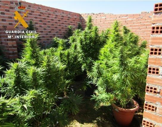 Desmantelada una plantación de marihuana en Torrecilla