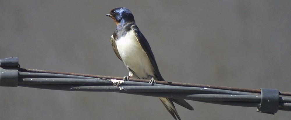 Entre otras especies, las golondrinas han cambiado, notablemente, las fechas de migración
