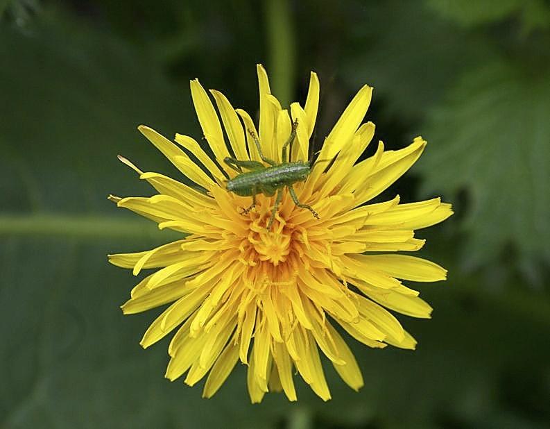 Algunas especies como el diente de león, han vuelto a florecer a mediados de otoño