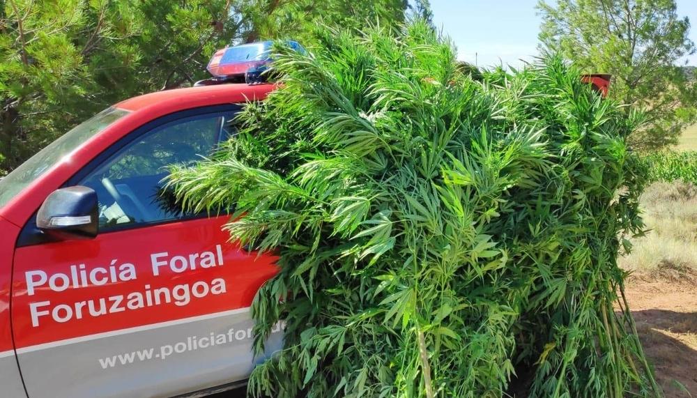 Boom de la marihuana: incautadas 62 plantas más entre maíz