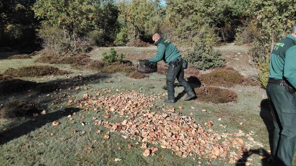El Seprona decomisa y destruye más de 2.500 kilos de setas