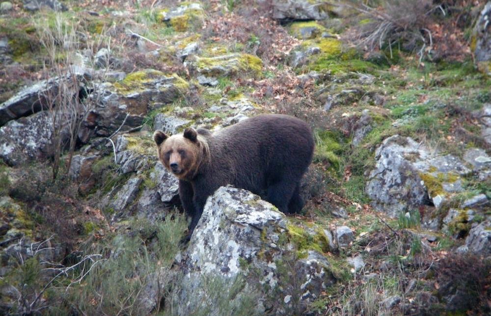 Ejemplar de oso pardo.