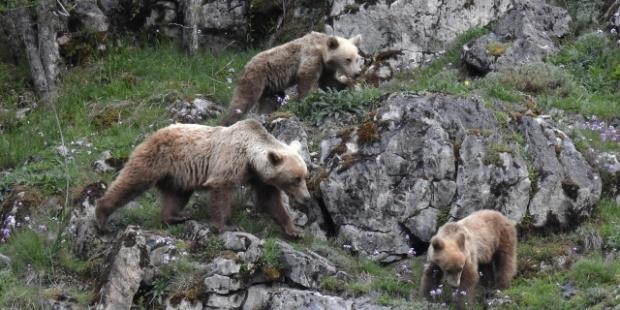 Una osa con sus crías avistada en la zona del Cantábrico Oriental.