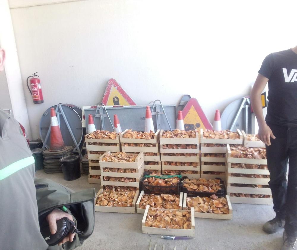 Decomisan 550 kilos de níscalos en los montes de Lubia