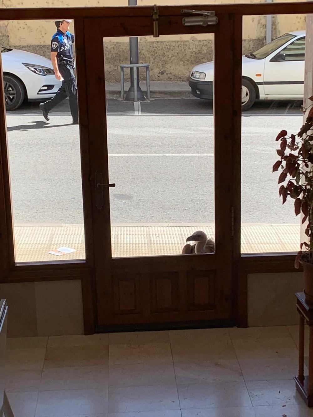 Un buitre leonado campa por las calles de Sangüesa