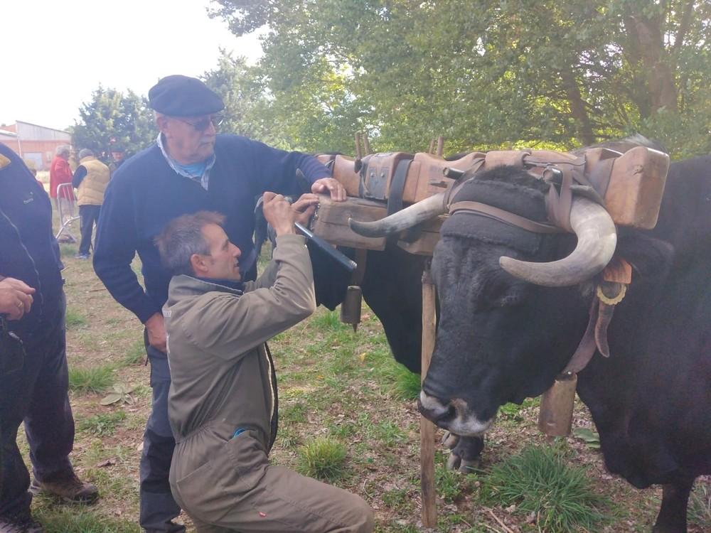 Entre vacas y carretas