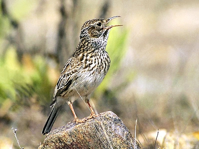 Un ejemplar del ave. Seo BirdLife