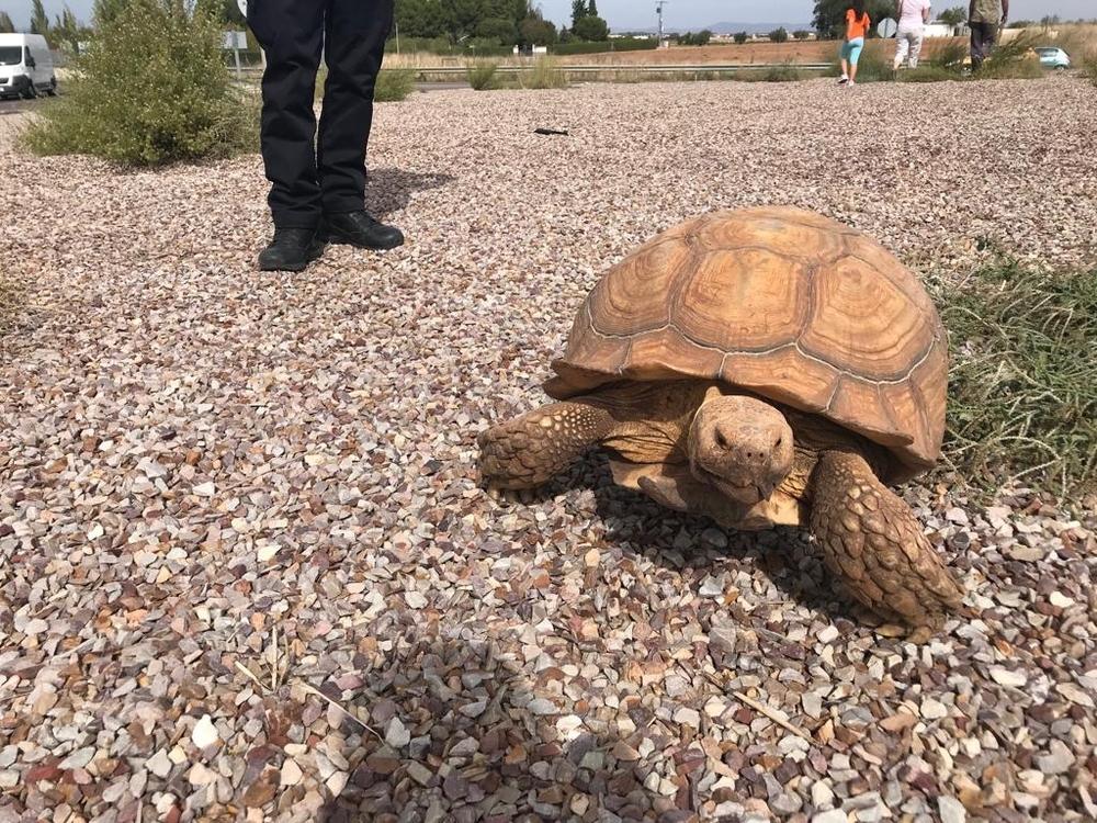 Localizan una tortuga de 20 kilos en mitad de la carretera