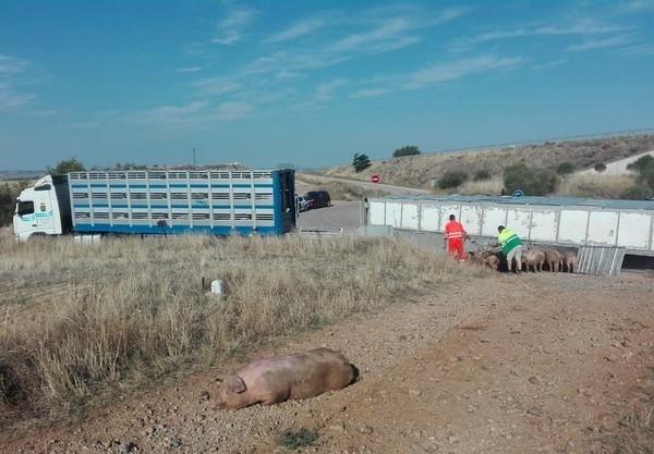 Vuelca un camión de Copiso que transportaba cerdos