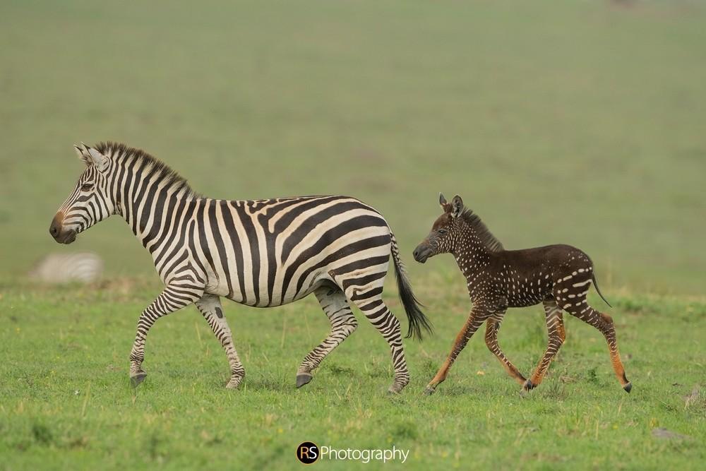FOTOS: Avistan en África una cebra con puntos en lugar de rayas