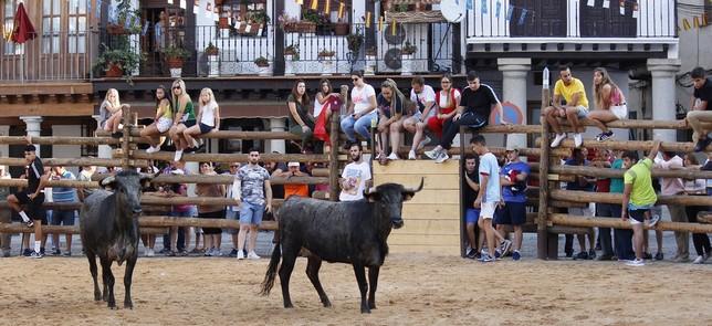 La Puebla de Montalbán y sus vacas, todo un éxito de público