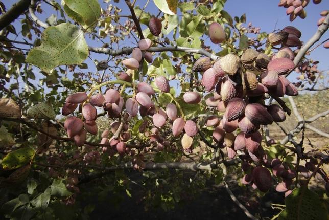 El pistacho crece y suma ya 8.000 hectáreas /Fotos: Rueda Villaverde