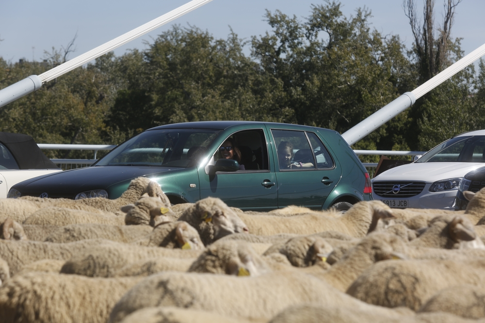 Miles de ovejas cruzan Valladolid
