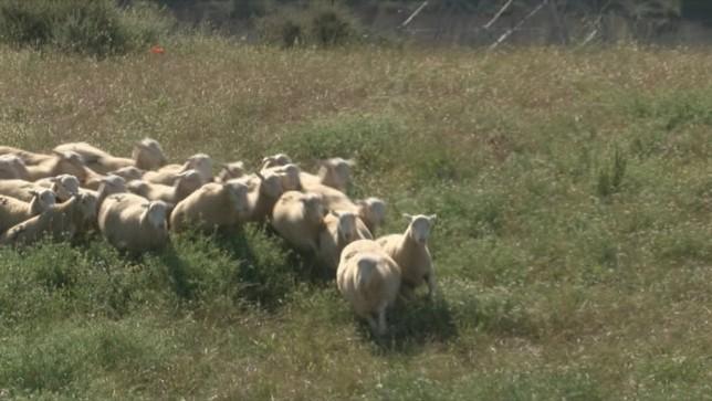 Nuevo ataque: la osa Claverina mata a otra oveja en Uztárroz