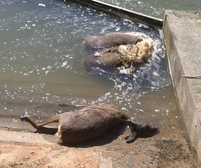 Uno de los rescates realizados por agentes medioambientales y Bomberos de Aranda. Vídeo: @Apamcyl