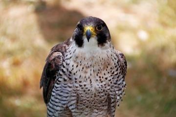 Halcones patrullan el Casco Viejo como predadores de palomas