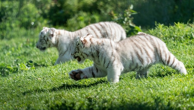 Nacen en Navarra dos crías de tigre blanco Senda Viva