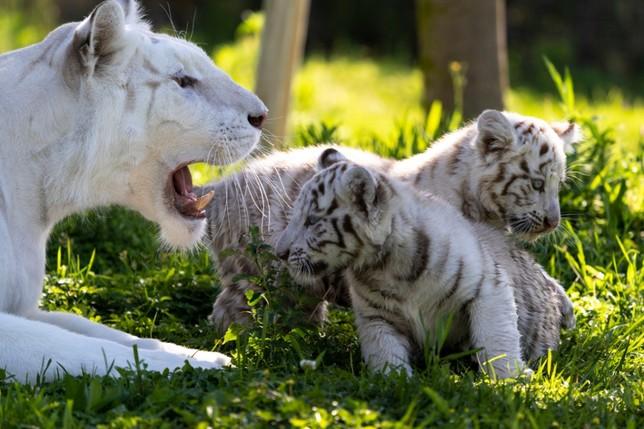 Nacen en Navarra dos crías de tigre blanco