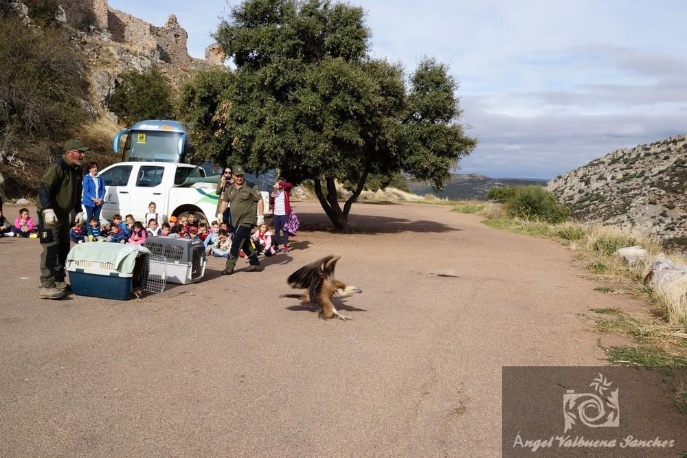 Suelta espectacular de buitres leonados en Aldea del Rey