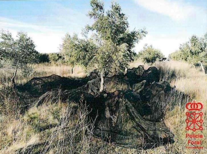 'In fraganti': sorprendido robando en un huerto de olivos