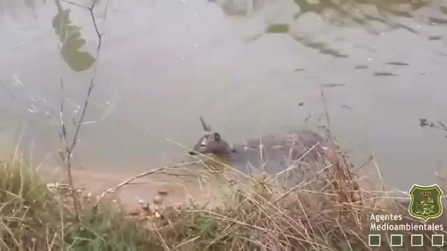 Rescatan a un corzo del Canal del Aranda