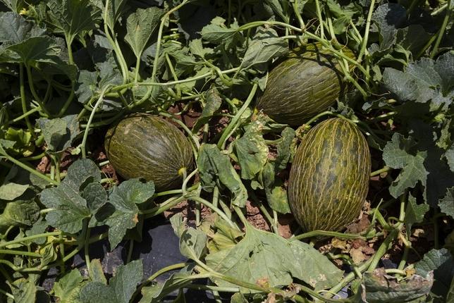 La campaña del melón y la sandía arranca con precios bajos