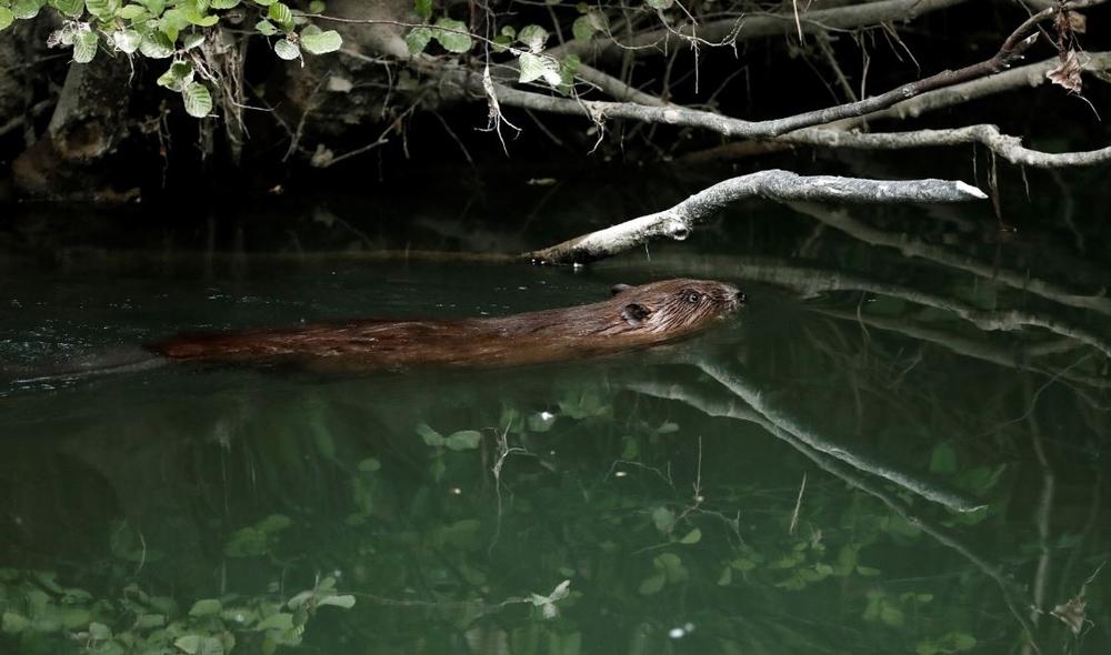 El río Arga y sus castores