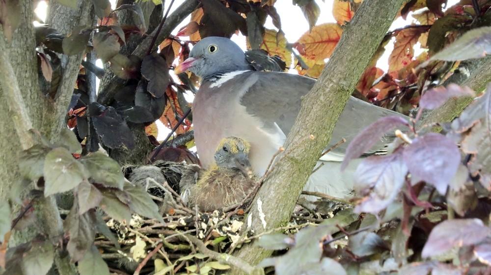 Paloma torcaz en un nido en el casco urbano abulense